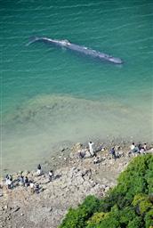 20090514和歌山 迷いクジラ.jpg