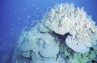 20080403-hamasango-mugisima.jpg 牟岐大島の巨大ハマサンゴ