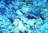 グアムブルーホール水深35mのアケボノハゼ