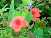 グアム・ホテルの赤い小さな花