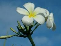 グアム・ホテルの白い花