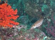 西伊豆・浮島 真っ赤なストロベリーサンゴとコウイカ