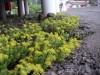 西伊豆・浮島のホテル前の黄色い花