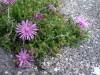 西伊豆・浮島のホテル前のピンクの花