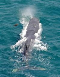 20090603和歌山県田辺市の迷子のクジラ.jpg