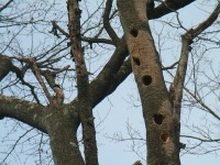 きつつきが木にいっぱい穴を開けています